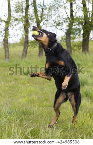 Dog playing with a ball in the meadow