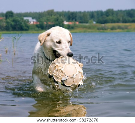 dog playing with a ball in the water. dog holds broken ball