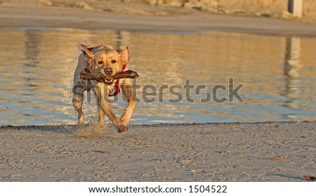 dog playing with a stick - stock photo