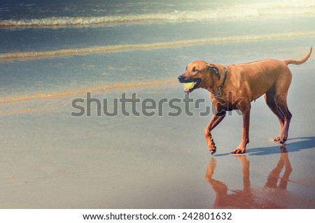 Dog playing with ball at beach  - stock photo