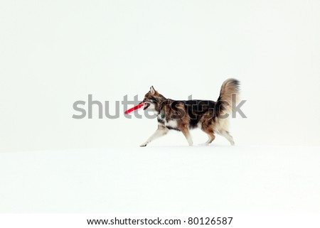 Dog playing with frisbee in the snow - stock photo