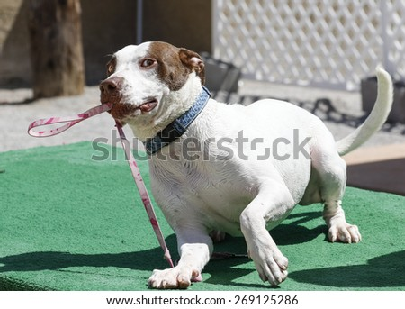Dog playing with his own leash with a silly look on his face - stock photo