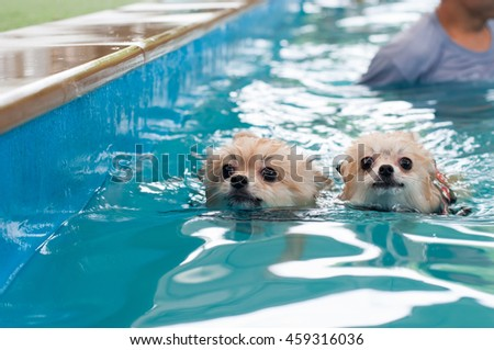 dog Pomeranian swimming In the pool