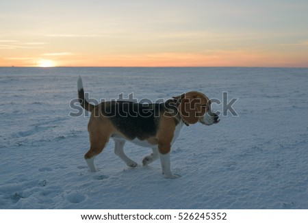 Dog portrait Beagle for a walk on a winter evening at sunset