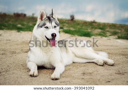 Dog. Portrait of Siberian Husky. Dog on the river bank. Landscape