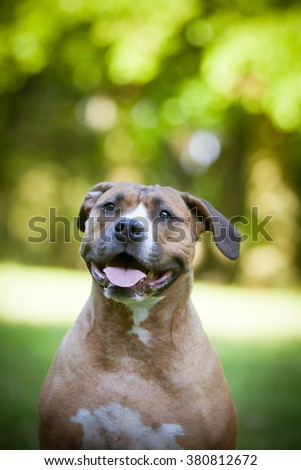 Dog portrait Staffordshire terrier - stock photo