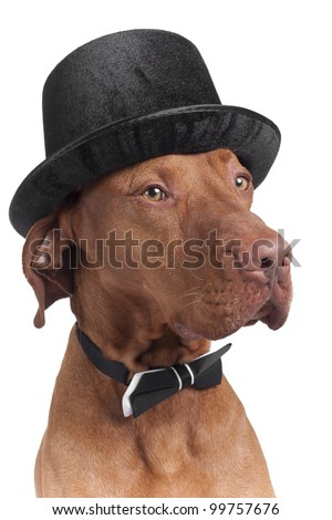 dog posing with hat and bowtie on white background - stock photo