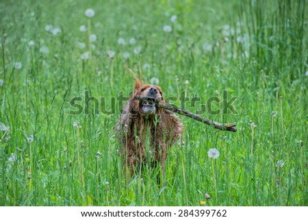 Dog puppy cocker spaniel while jumping on grass background - stock photo