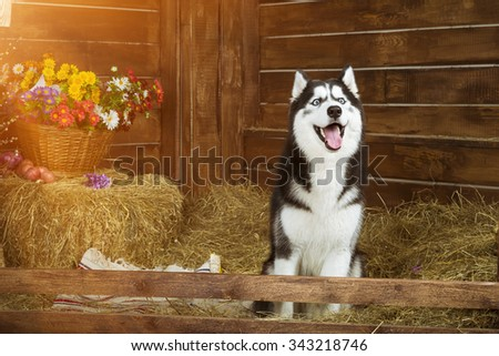 Dog-puppy of breed Siberian husky, portrait in the interiors of photo Studio - stock photo