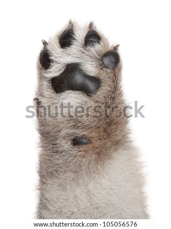 Dog puppy paw. Isolated on a white background - stock photo