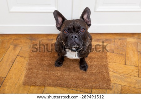 dog ready for a walk with owner begging, sitting and waiting ,on the floor doormat inside their home - stock photo