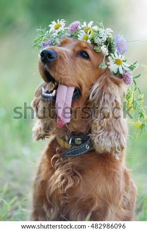 dog red Spaniel in a wreath of wild flowers protruding from the heat tongue