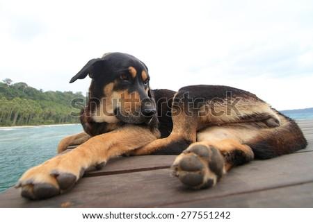 dog relaxing and sleeping on wood bridge. - stock photo