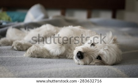 Dog relaxing on the bed - stock photo