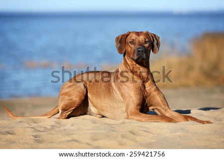 Dog Rhodesian Ridgeback lying on the beach near the water - stock photo