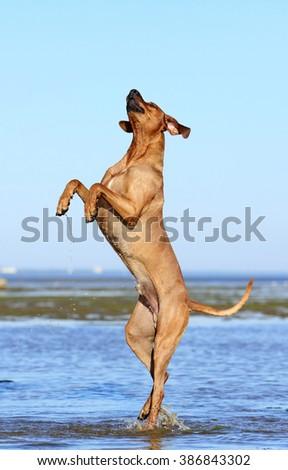 Dog Rhodesian ridgeback playing in the water - stock photo
