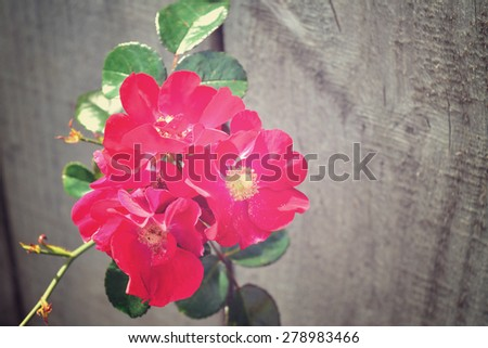 Dog-rose against wooden fence. Retro-style - stock photo