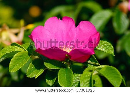 Dog rose on sunny day - stock photo