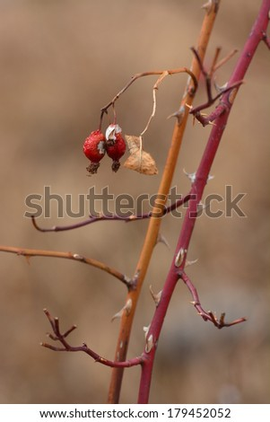 Dog Rose (Rosa canina) branches with ripe fruits