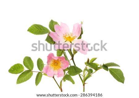 Dog rose, Rosa canina, flowers and foliage isolated against white - stock photo