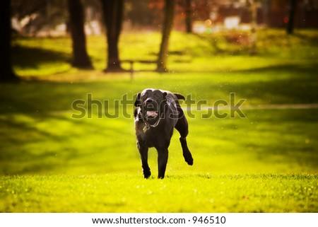 dog running - stock photo