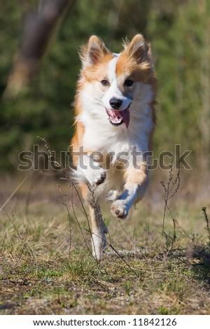 Dog running forward - stock photo