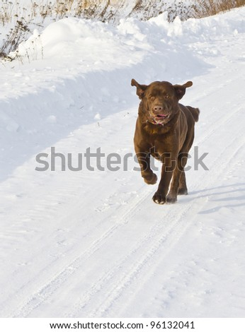 Dog running in snow - stock photo
