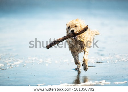 Dog running on the Beach with a Stick, Muriwai beach, New Zealand - stock photo