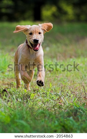 Dog  running over meadow