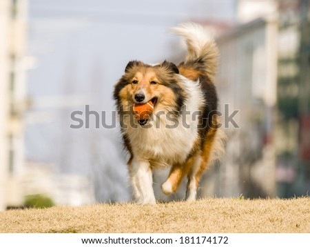 Dog, Running Shetland Sheepdog with ball in mouth - stock photo