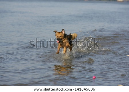 dog running through the water, dog runs on water, dog jumps into a water as he trains to retrieve decoys - stock photo