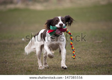 dog running with toy in mouth - stock photo