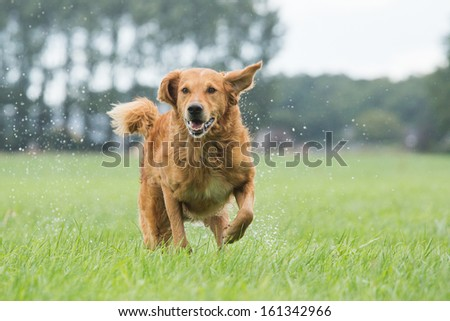 Dog runs in the field - stock photo