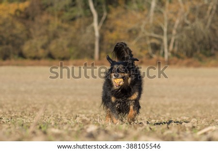 Dog runs with a corn cob on a field  - stock photo