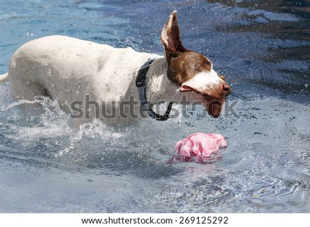 Dog shaking his head in the pool to get the water off - stock photo