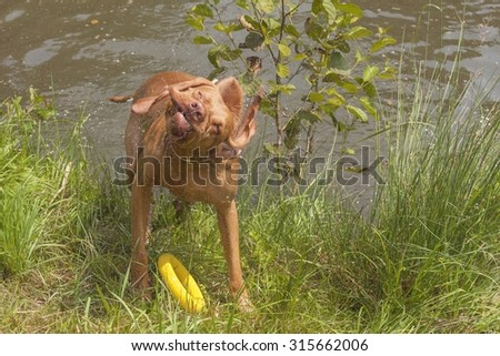 Dog shaking off water from the pond. Hungarian hound after a bath in a rural pond. Front view, ridiculous dog grimace. Funny image. - stock photo