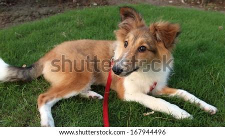 Dog, Shetland sheepdog - stock photo