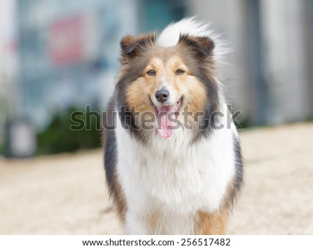 Dog, Shetland sheepdog, collie, smile with big mouth, she was waiting for ball retrieving. - stock photo