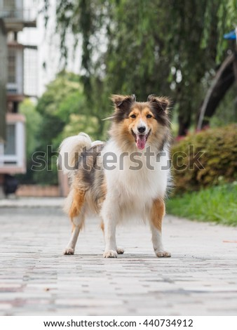 Dog, Shetland sheepdog, collie, smile with big mouth, she was waiting for ball retrieving - stock photo