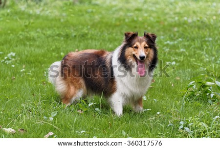 Dog, Shetland sheepdog, collie, standing on grass field. - stock photo