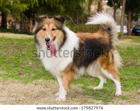 Dog, Shetland sheepdog waiting to play in field