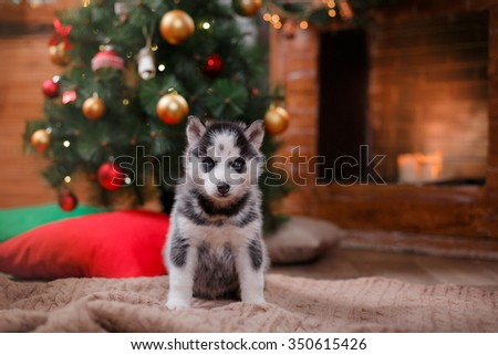 Dog Siberian Husky , Cute little siberian husky puppy, Christmas and New Year - stock photo