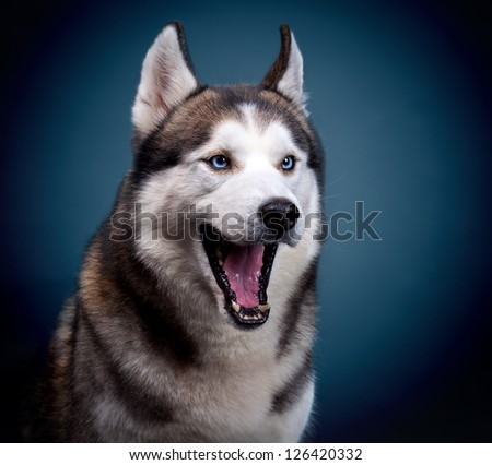dog siberian husky. studio shot on dark background - stock photo