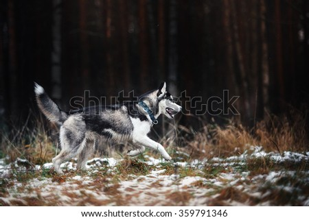 Dog Siberian Husky walking in winter park - stock photo