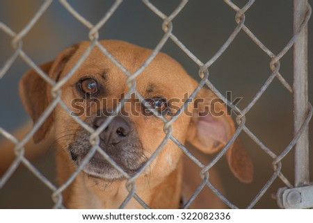 Dog sits behind a chain link fence waiting to be adopted.