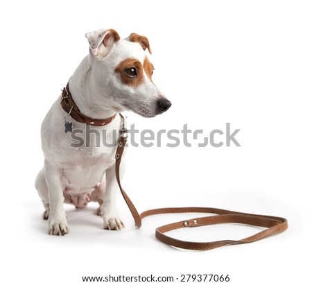 dog sitting in a collar on a leash - stock photo