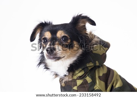 Dog sitting looking front side wearing military jersey - stock photo