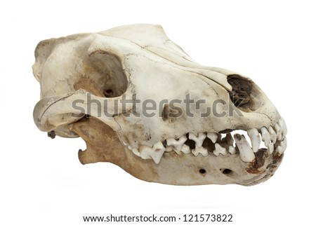 Dog skull isolated on white background - stock photo