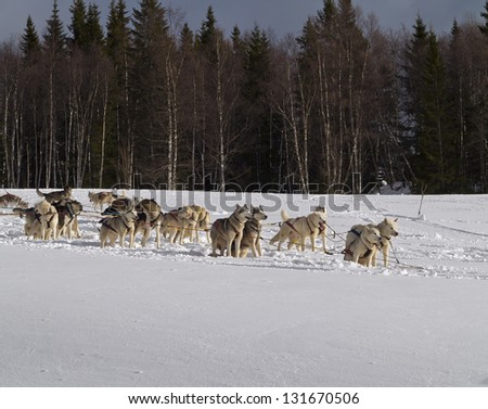 Dog sleds have been used for transportation in northern regions for thousands of years. - stock photo