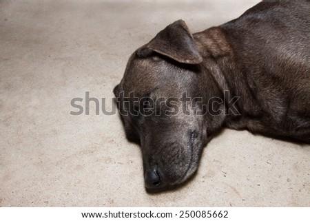 dog sleeping and dreaming - stock photo
